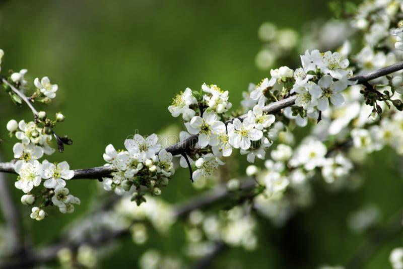 Flores del ciruelo de cereza que florecen en un jardín de la primavera contra la perspectiva de la hierba verde, fondo, contexto fotos de archivo libres de regalías