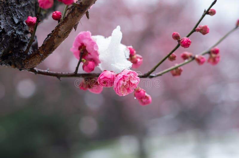 Flores del ciruelo en la plena floraci?n en jard?n del este del flor del ciruelo del lago wuhan en primavera fotos de archivo libres de regalías