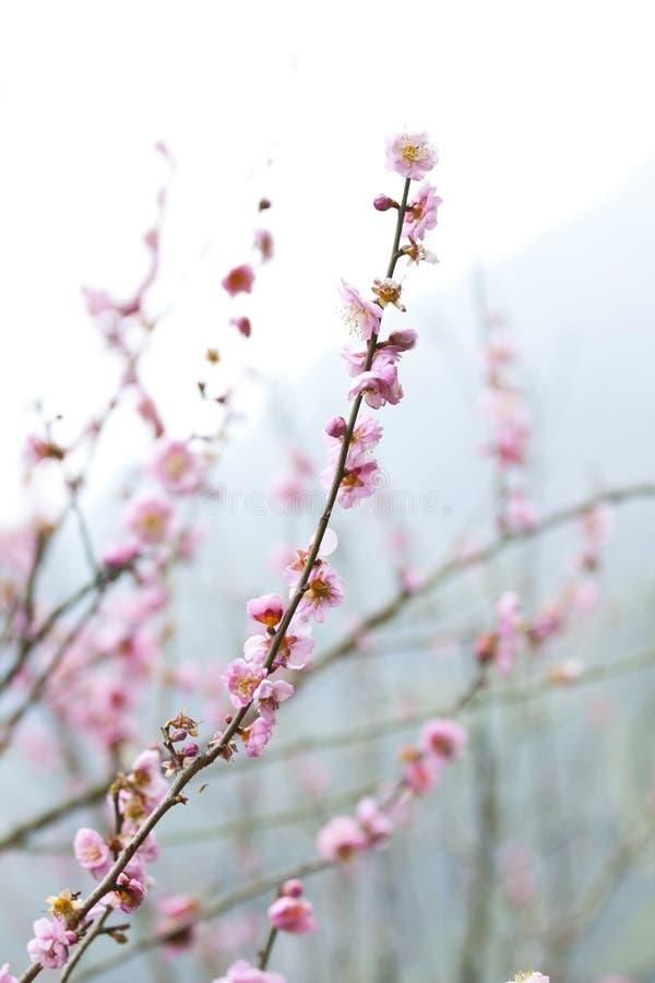 Flores del ciruelo en resorte fotos de archivo