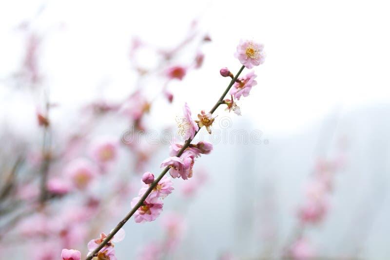 Flores del ciruelo en resorte fotografía de archivo libre de regalías