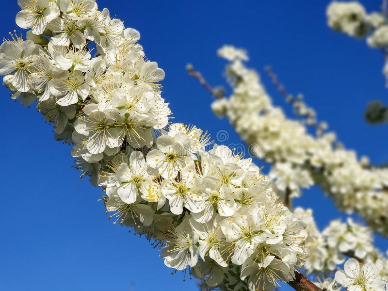 Flores del ciruelo en resorte foto de archivo
