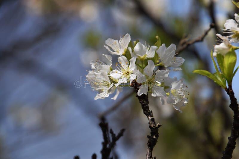 Flores del ciruelo japonés fotografía de archivo libre de regalías
