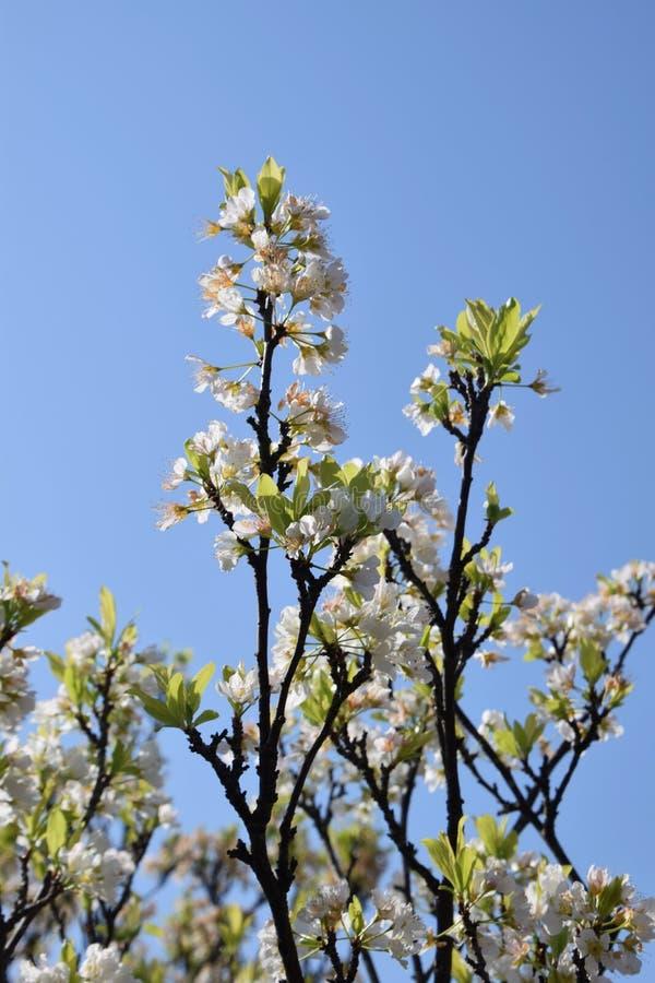 Flores del ciruelo japonés foto de archivo