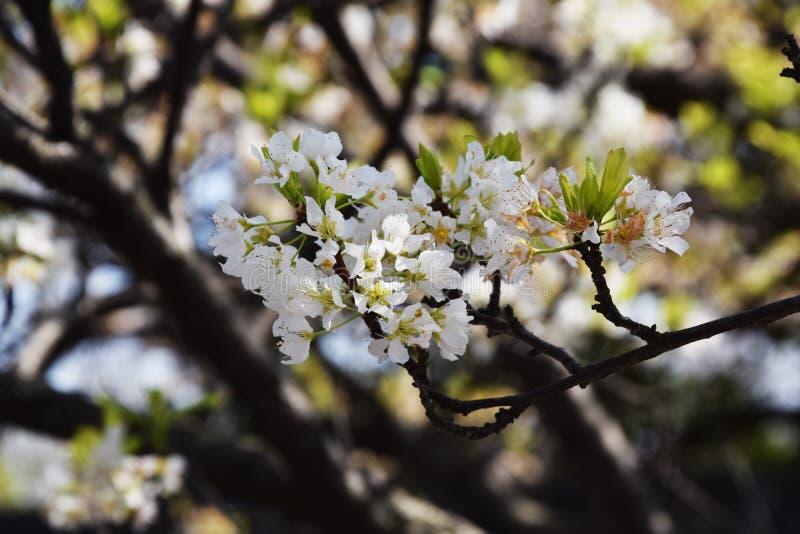 Flores del ciruelo japonés imagenes de archivo