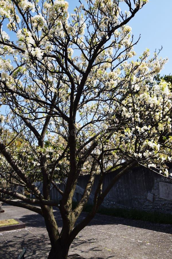 Flores del ciruelo japonés fotos de archivo
