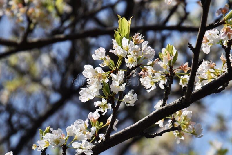 Flores del ciruelo japonés imagen de archivo libre de regalías