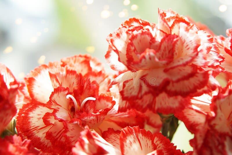 Flores del clavel de la primavera foto de archivo libre de regalías