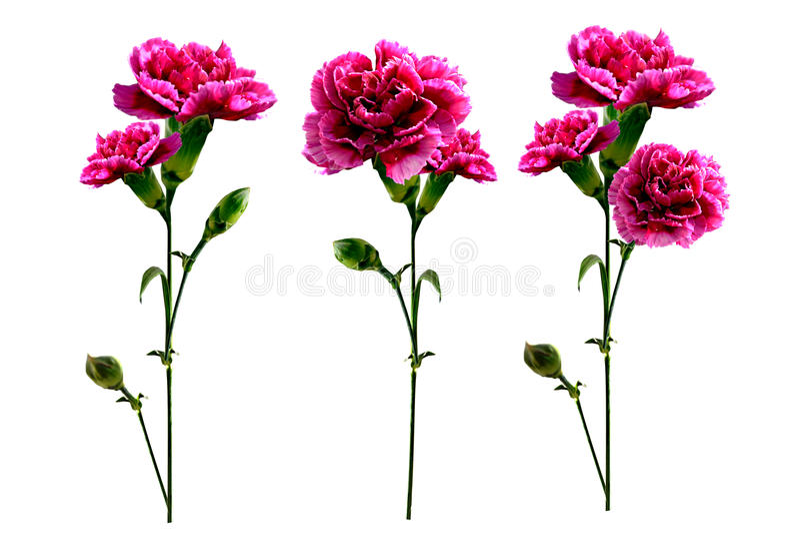 Flores del clavel de la rama imagen de archivo libre de regalías