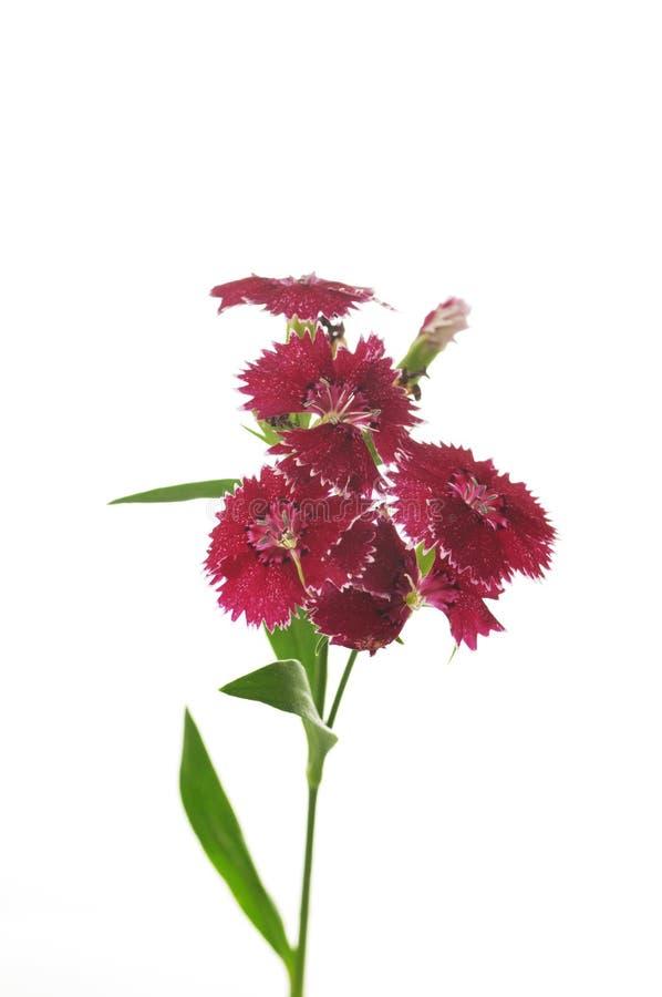Flores del clavel en un fondo blanco imagen de archivo libre de regalías