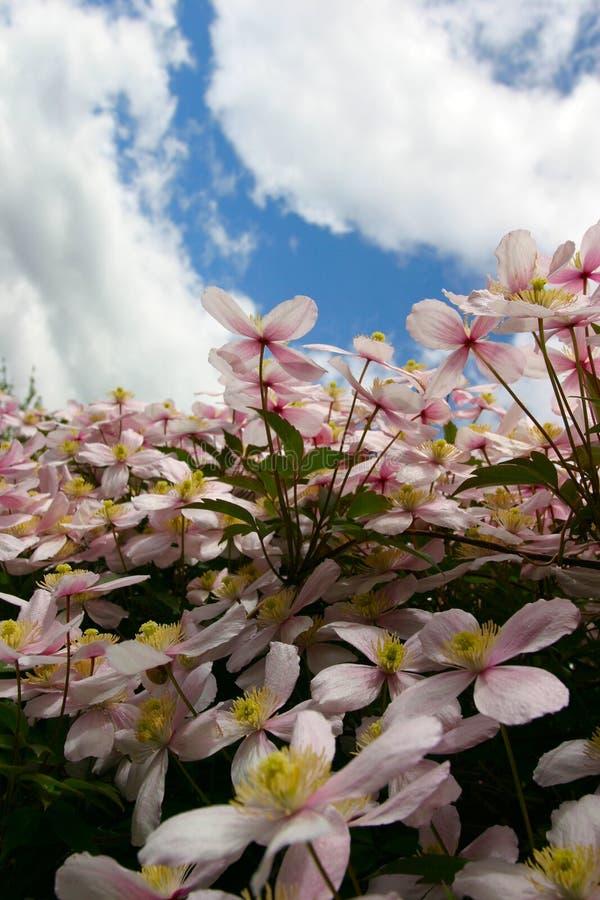 Flores del Clematis fotos de archivo libres de regalías