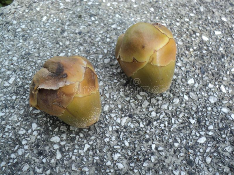 Flores del coco que caen de árboles foto de archivo libre de regalías