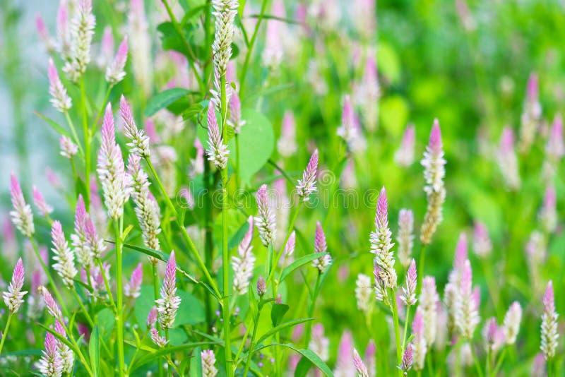 flores del color del rosa del argentea del celosia que florecen en hojas verdes de la falta de definición del parque fotografía de archivo