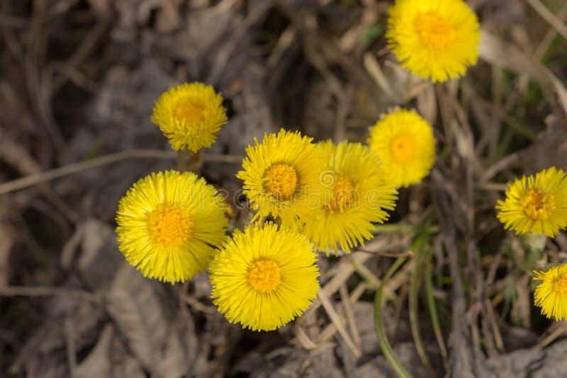 Flores del Coltsfoot en día de primavera foto de archivo