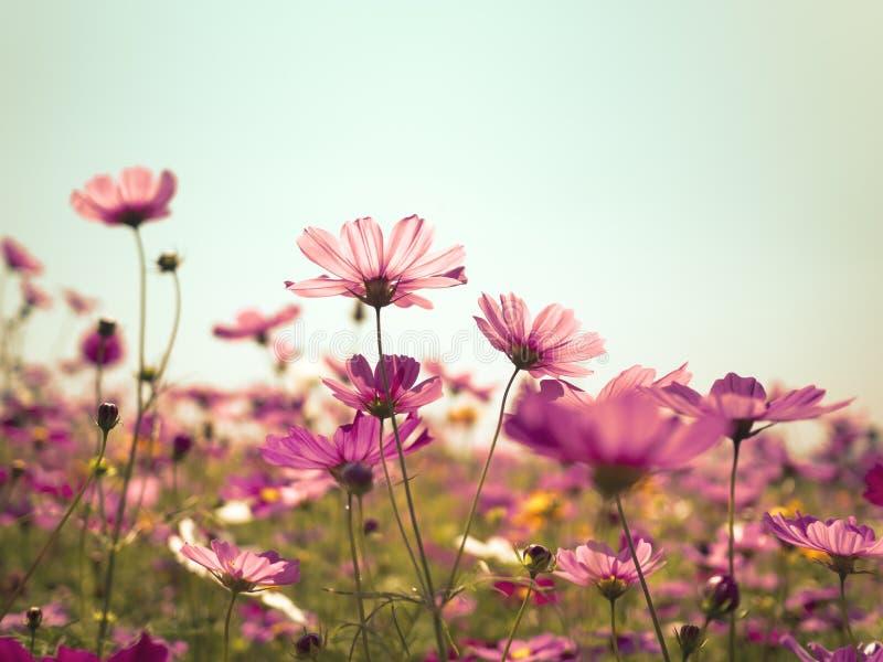 Flores del cosmos contra el cielo azul brillante fotografía de archivo