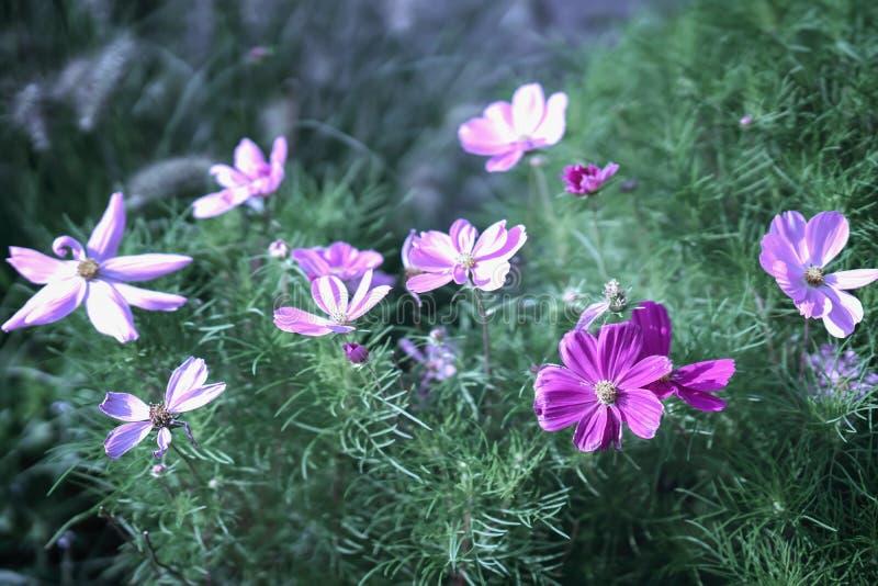 Flores del cosmos Plantas elegantes con las flores rosadas, púrpuras Fondo vivo del verano imágenes de archivo libres de regalías