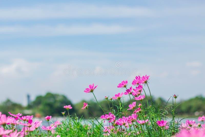 Flores del cosmos que florecen en el jardín imagenes de archivo
