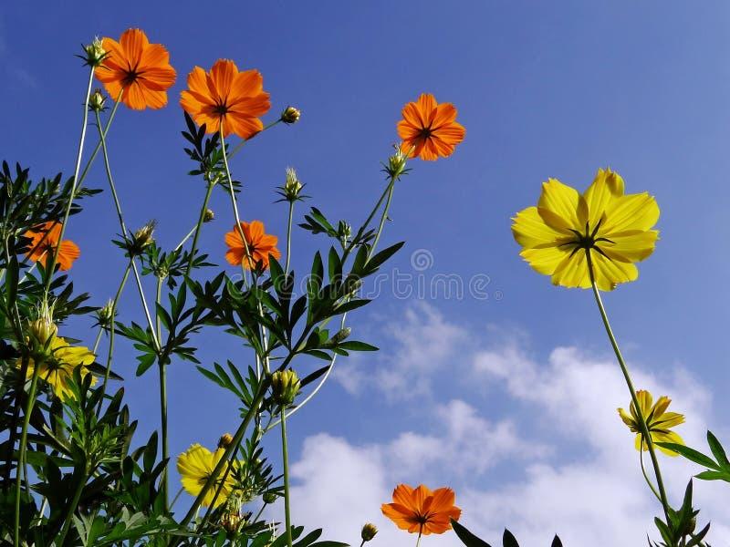 Flores del cosmos que suben a la sol foto de archivo
