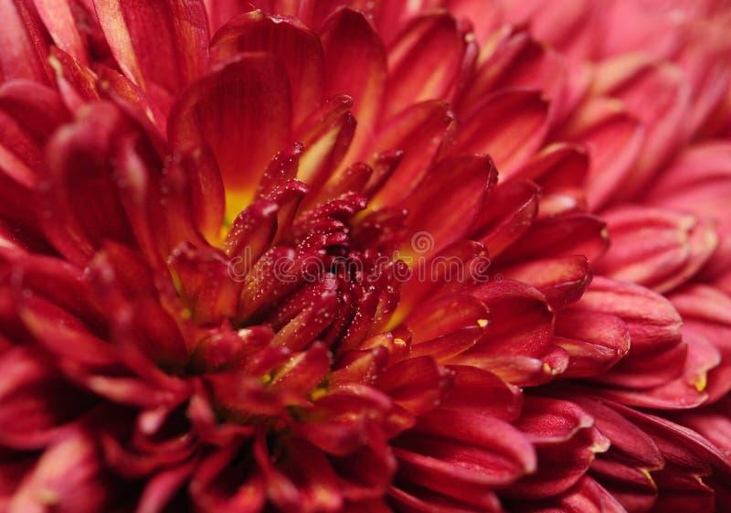 Flores del crisantemo imagen de archivo libre de regalías
