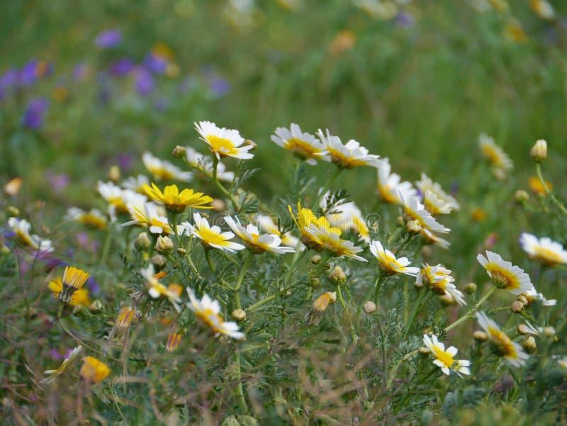 Flores del crisantemo de la guirnalda fotografía de archivo