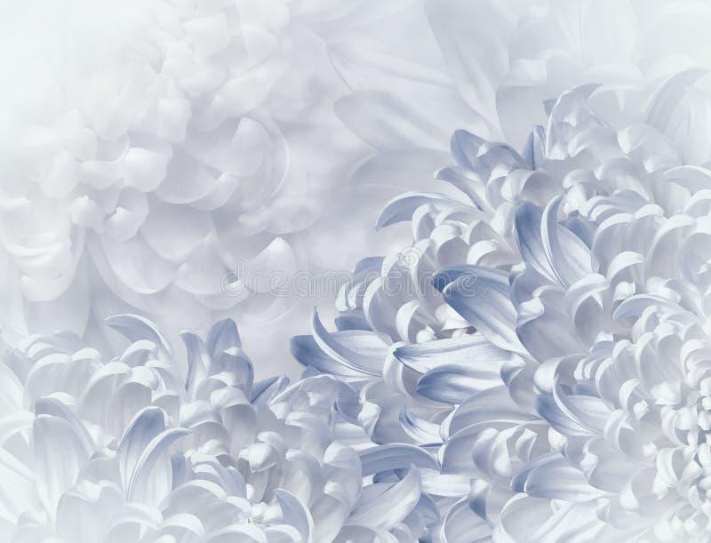 Flores del crisantemo fondo Blanco-azul collage floral Composici?n de la flor Primer fotografía de archivo libre de regalías