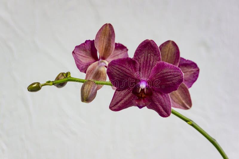 Flores del destino magenta Borgoña-coloreado, u oscuro raro de la orquídea del phalaenopsis, o de la orquídea de polilla púrpura, fotos de archivo