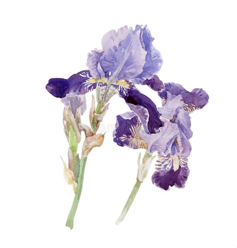 Flores del diafragma stock de ilustración
