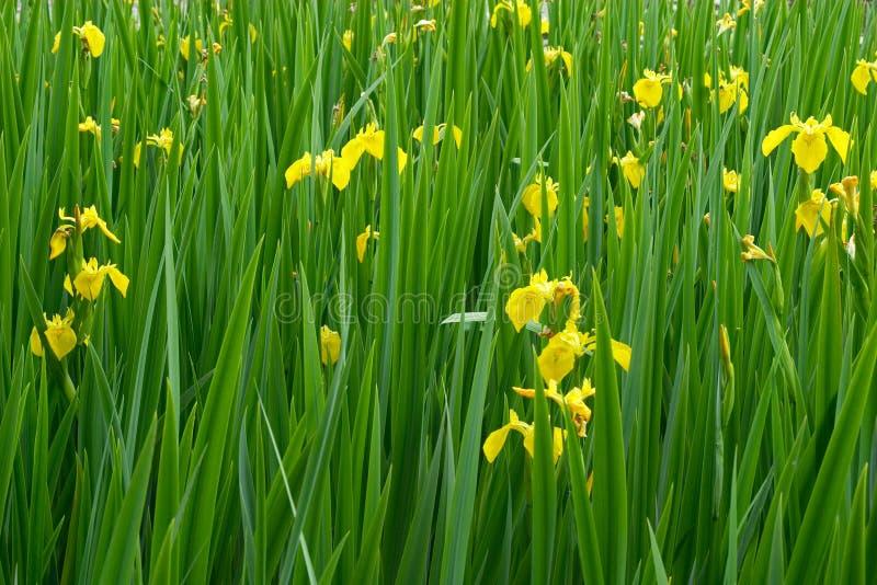 Flores del diafragma amarillo en la floración foto de archivo