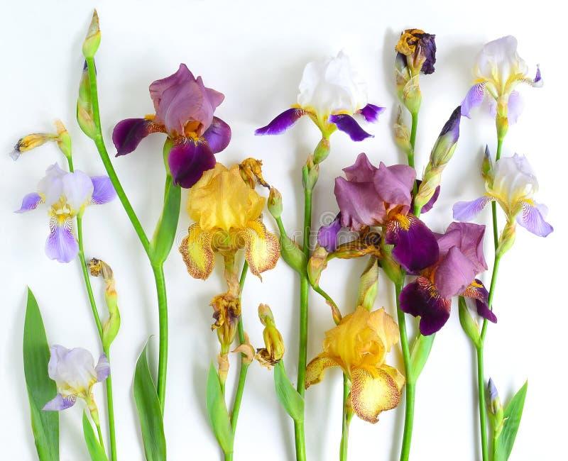 Flores del diafragma fijadas fotos de archivo