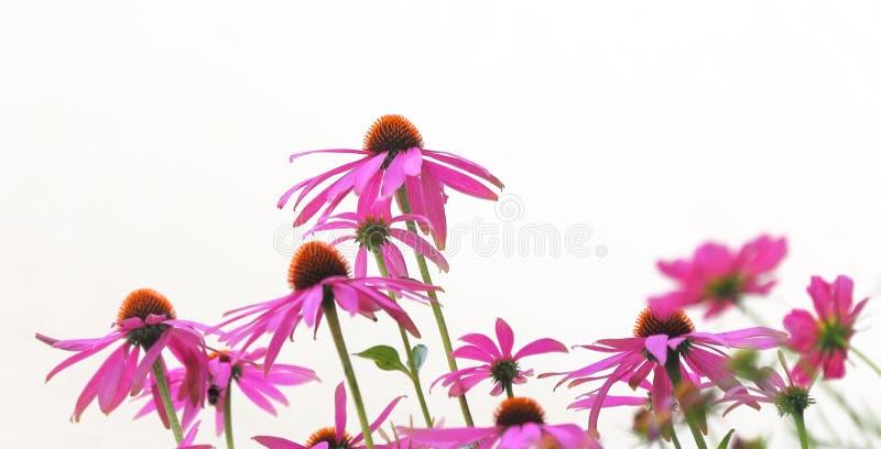 Flores del Echinacea fotografía de archivo libre de regalías