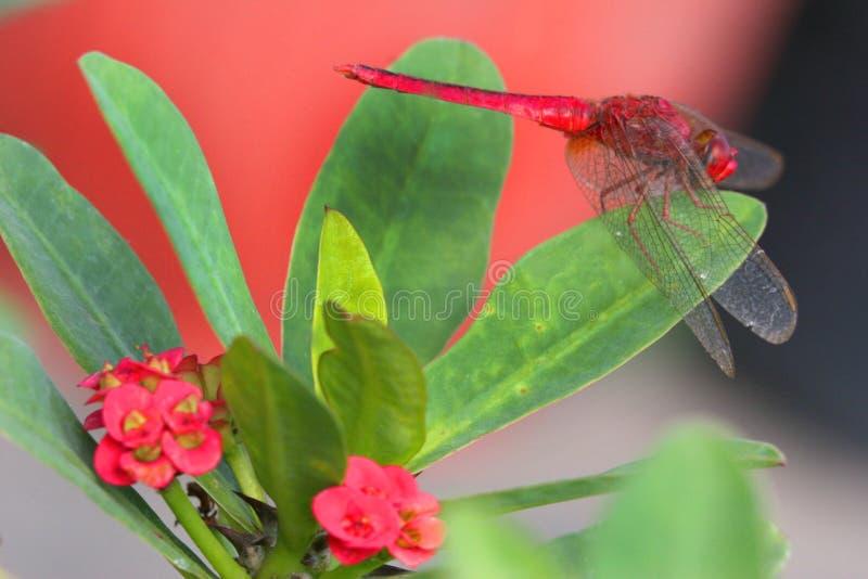 Flores del euforbio y mosca rojas del dragón imagenes de archivo