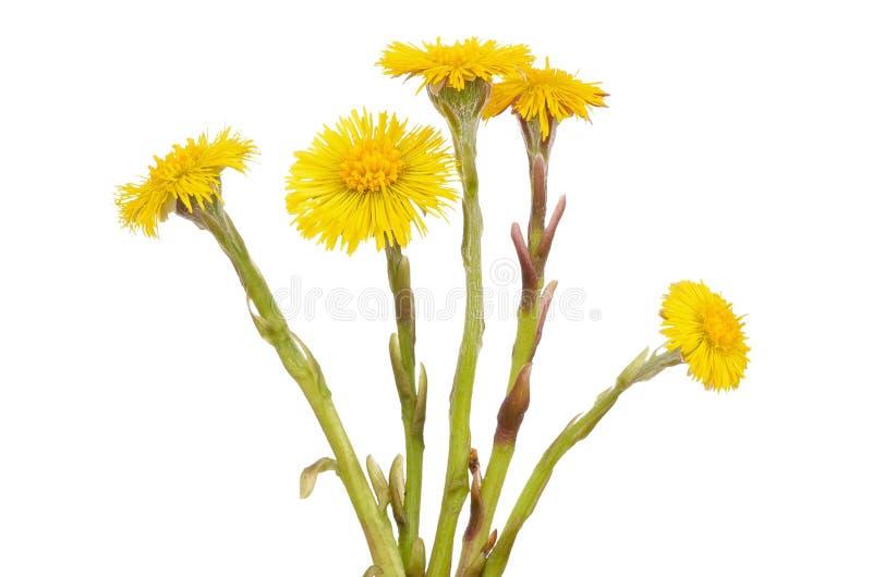 Flores del farfara del Tussilago fotos de archivo libres de regalías