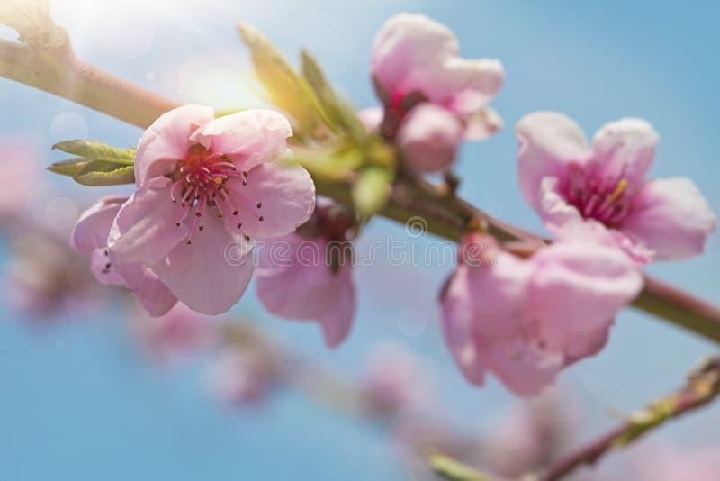 Flores del flor del melocotón fotografía de archivo