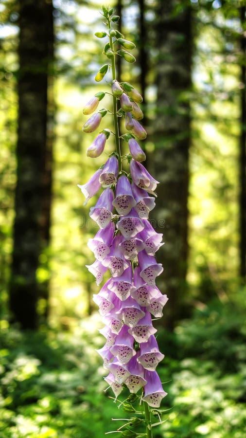 Flores del Foxglove fotografía de archivo libre de regalías