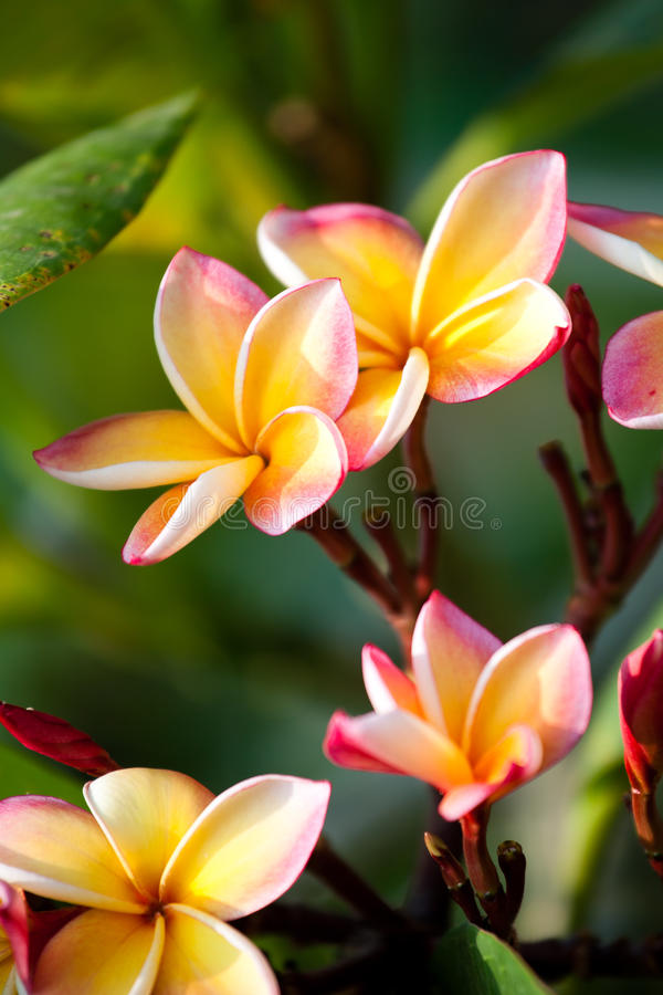 Flores del Frangipani fotografía de archivo libre de regalías
