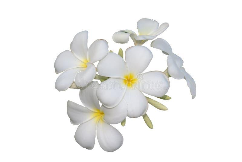 Flores del Frangipani aisladas con la trayectoria de recortes foto de archivo libre de regalías