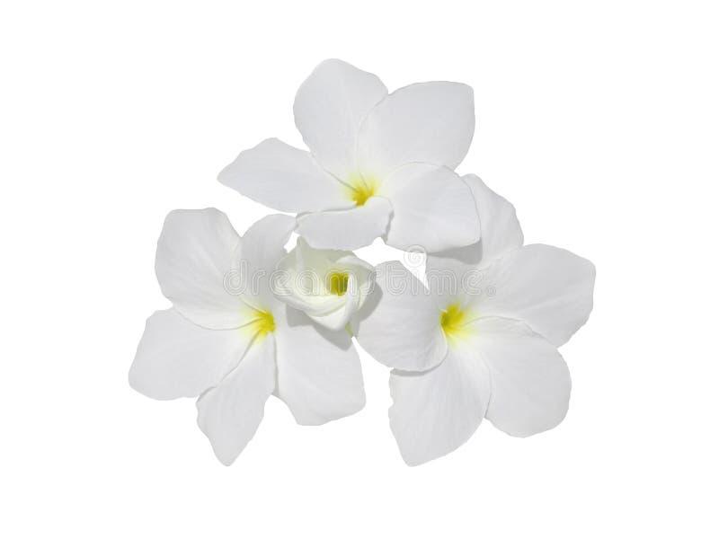 Flores del Frangipani aisladas en blanco foto de archivo libre de regalías