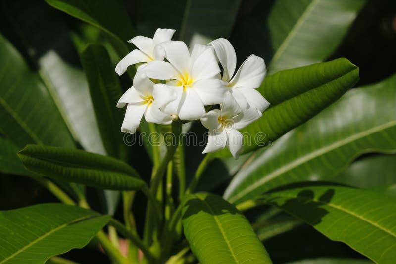 Flores del Frangipani en el árbol imagen de archivo libre de regalías