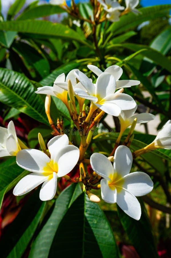 Flores del Frangipani del Plumeria en la floraci?n imagen de archivo libre de regalías