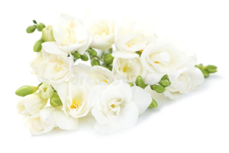 Flores del Freesia imagenes de archivo