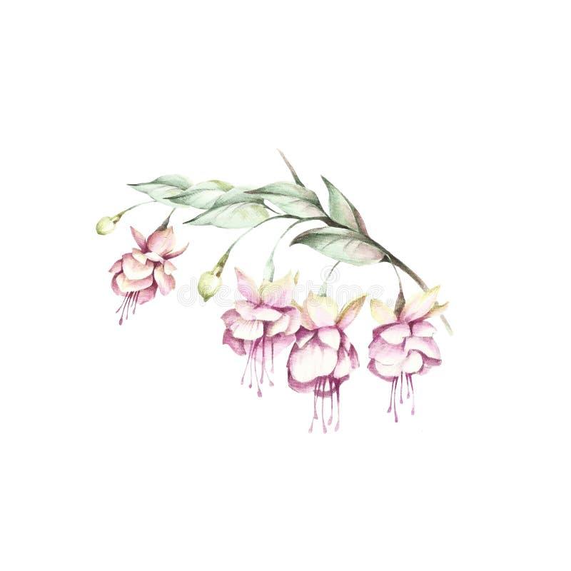 Flores del fucsia de la imagen Ejemplo de la acuarela del drenaje de la mano stock de ilustración
