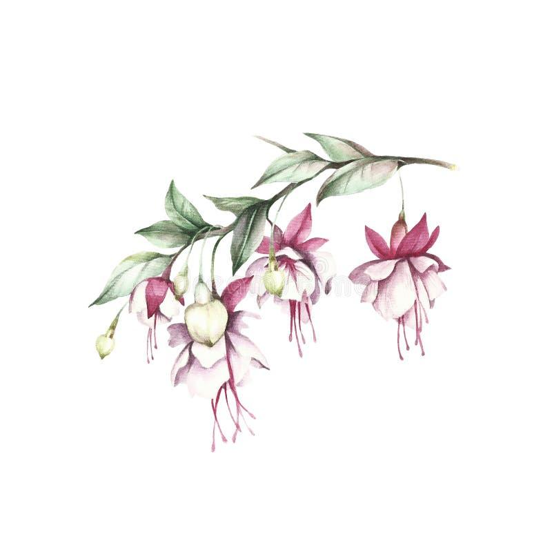 Flores del fucsia de la imagen Ejemplo de la acuarela del drenaje de la mano libre illustration