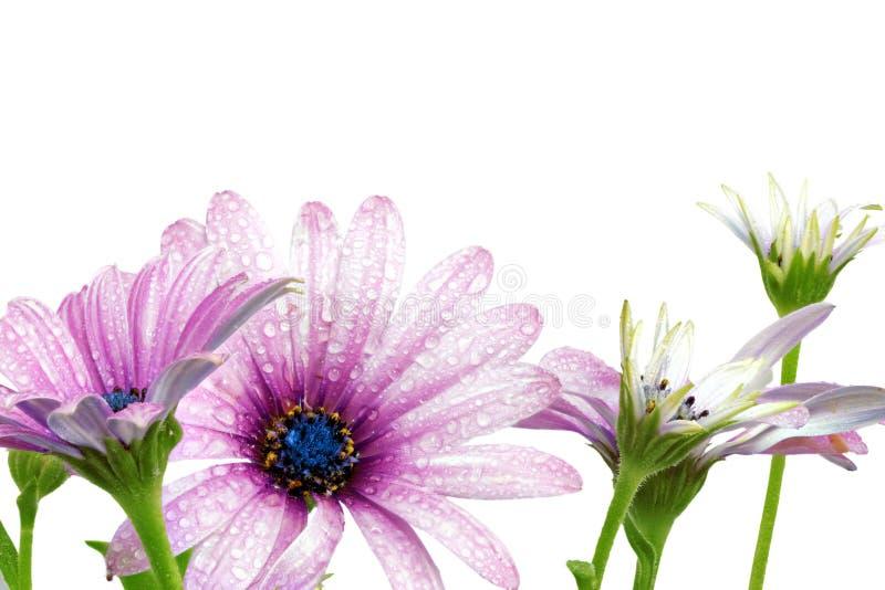 Flores del Gazania con descensos. (Género asteraceae de Splendens) fotos de archivo