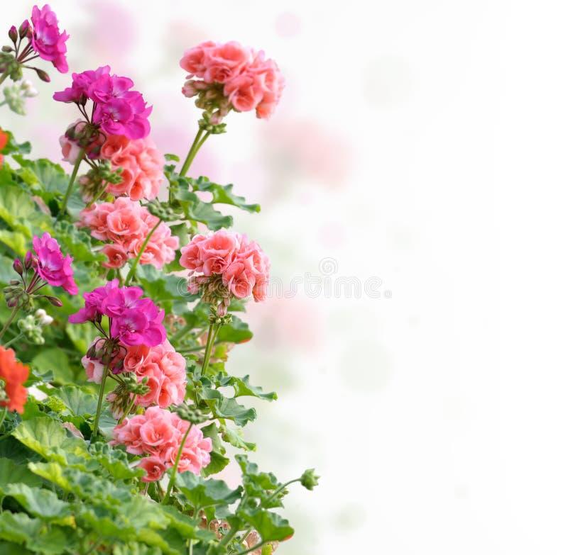 Flores del geranio fotografía de archivo