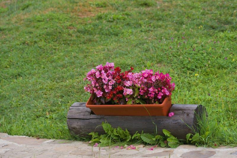Flores del geranio en un pote fotografía de archivo libre de regalías