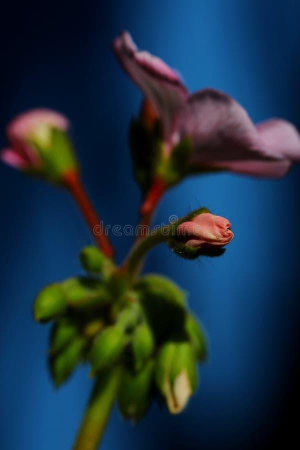 Flores del geranio imagenes de archivo
