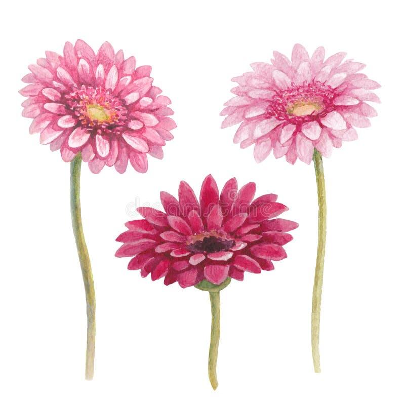 Flores del gerber de la acuarela ilustración del vector