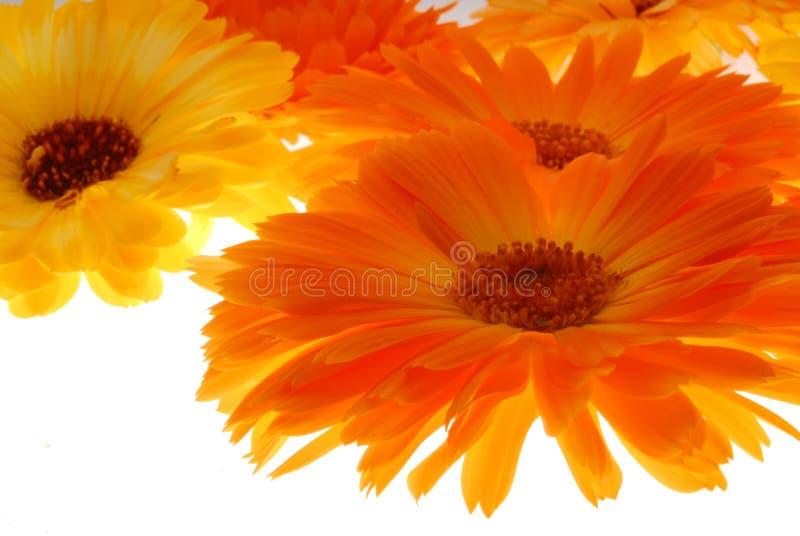 Flores del Gerbera en blanco imagen de archivo libre de regalías
