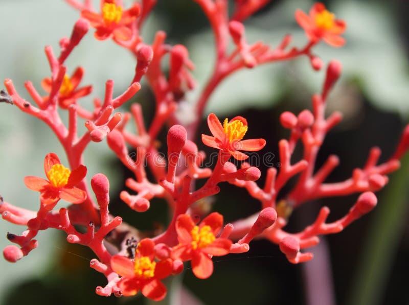 Flores del Ginseng fotos de archivo libres de regalías