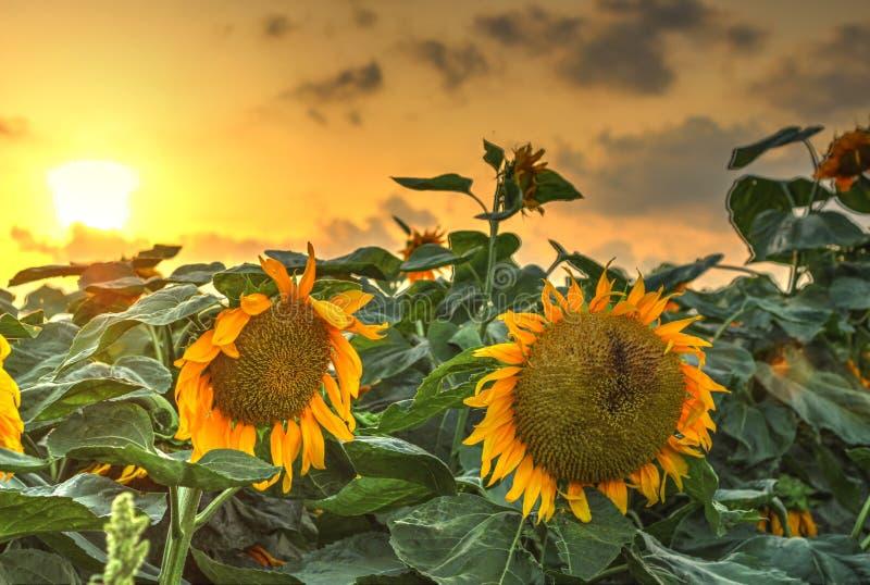 Flores del girasol en la puesta del sol imagen de archivo libre de regalías