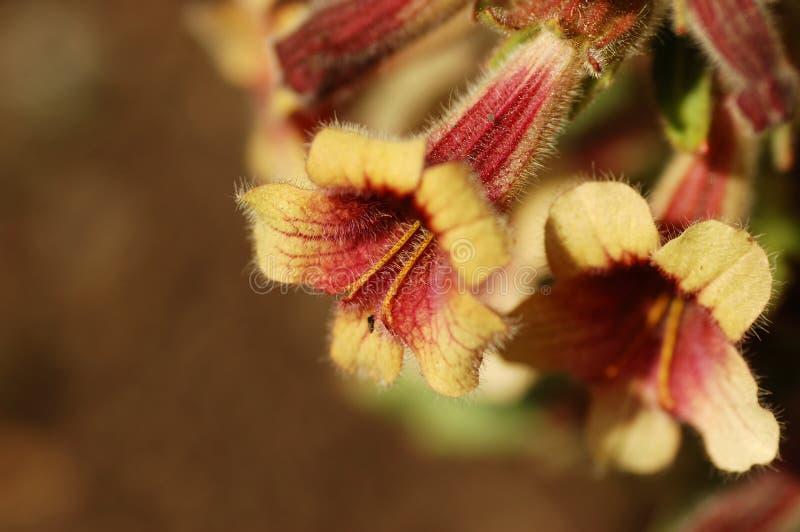 Flores del glutinosa de Rehmannia fotografía de archivo libre de regalías